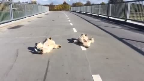 Why are these dogs rolling around on a bridge?