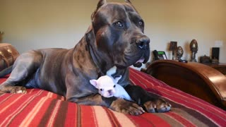 XL Bully and his bff Frenchie - Video