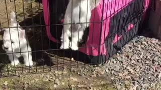 Westiepuppy trying to escape