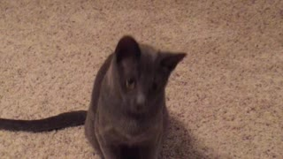 Laser Pointer Has Cat Communicating