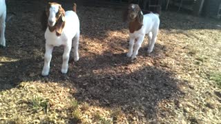 BEAUTIFUL BABY GOATS PLAYING WITH EACH OTHER 3  - Video