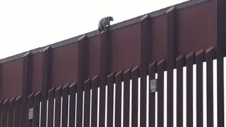 Raccoon Stuck on Boarder Wall