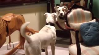 White dog barking at his reflection on mirror