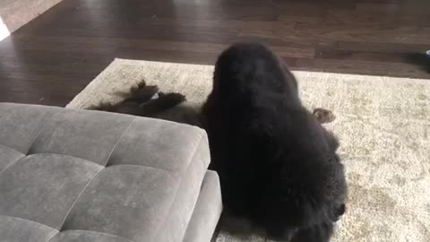 Newfoundland extremely dramatic when playing with younger brother