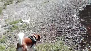 funny dog funny video try not to laugh Jack Russel mix the funniest dogs lovely dogs world