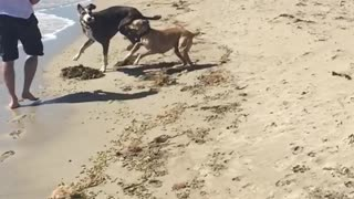 Long video of two dogs fighting on beach in slo mo - Video