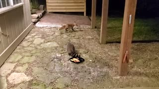 Arkansas Raccoon and Fox Fun
