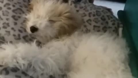 Passed out puppy falls asleep on owner's leg
