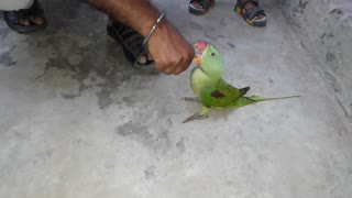 My beautiful ring neck parrot playing with me