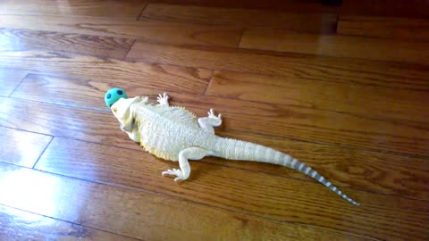 Bearded Dragon Finds Particular Interest In A Rubber Ball