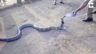 Watch What This Thirsty Cobra Does When Offered A Bottle Of Water - Video
