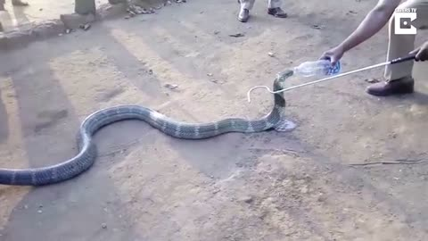 Thirsty Cobra Drinks Water From A Bottle