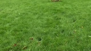 Dog lion in action  - Video