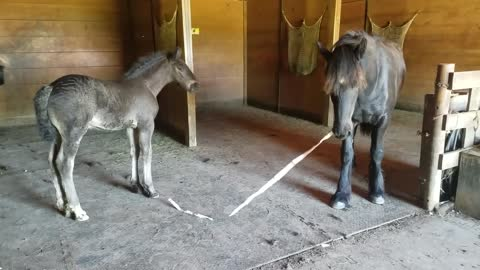 Spoons the orphaned foal plays with her half brother