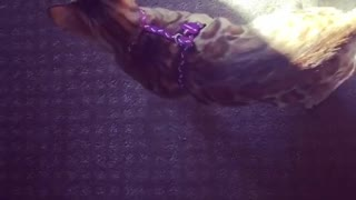 Making my Cat Dizzy with her Toy