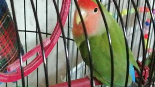 My pet parrots are very beautiful.