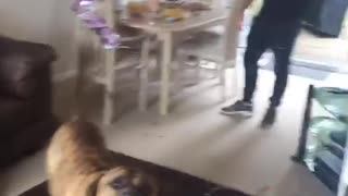 Dog keeps red balloon off floor - Video