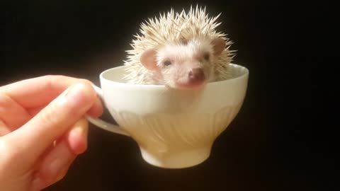 A CUP OF HEDGIE PLEASE