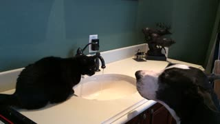 Dog and cat take turns drinking water from faucet