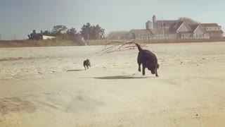Black dog chases small dog across sunny beach white house - Video