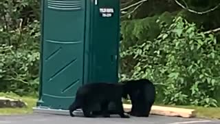 Bear cubs engage in office parking lot wrestling match in Alaska