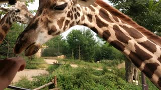 Giraffes feeding in Everland