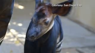 San Diego Zoo welcomes newborn Okapi calf - Video