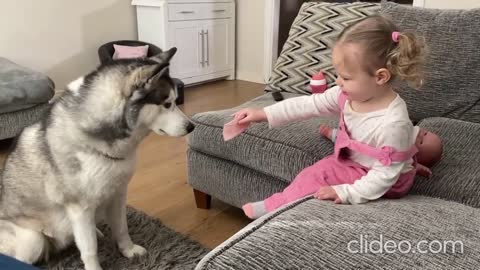 Most patient husky in the word waits for treat from little girl