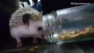 Hedgehog is eating worms from a glass jar