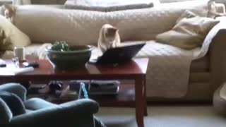 Cat plays with Laptop