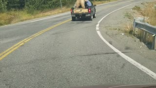 Giant Bear Travels in Truck Bed