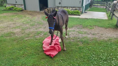 Spoons the orphaned foal plays with saddle cover with cute ears on