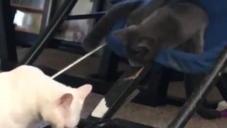 Black cat slaps white cat