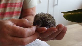 Hedgie the baby hedgehog eating cat food
