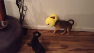 Confused dog runs around with head stuck in toy