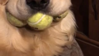 Dog's Mouth Stuffed with Tennis Balls