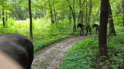 Colts join their Mommas on a trail ride