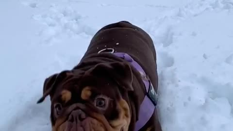 English Bulldog Does Slow Motion in the Snow