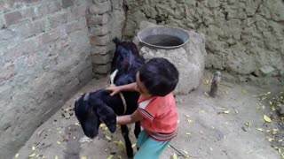 kids playing with goat