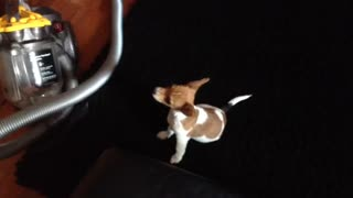 Curious Jack Russell Terrier - Video