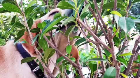 Labrador licking the plant leaves.
