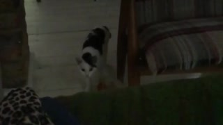 Slow motion black and white cat jumps onto couch to chase toy - Video