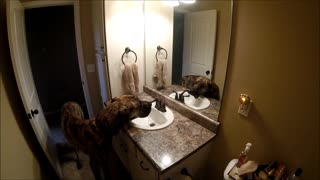 Giant Great Dane prefers drinking from the sink