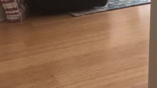 White dog dances on wood floor to go outside - Video