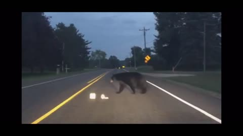 Huge bear crossing in front of traffic in Northern Michigan