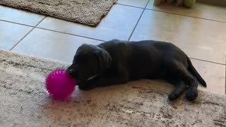 Playful Charcoal Lab Puppy