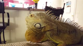 Iguanas Make Great Pets - Video