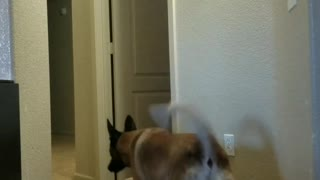 Dog in hallway scared by disappearing blanket magic trick - Video