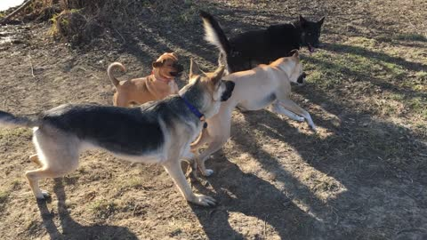 Buster playing with big dogs
