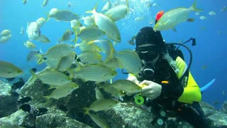 Diver is feeding the tropical fish underwater by banana  - Video